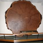 1400 Jahre alter Baum mit 5m Durchmesser
