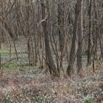 Ein Wald voller Schneeglöckchen
